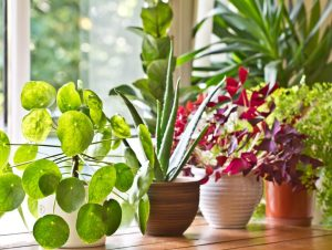 Best Houseplants for Improving Air Quality for the Elderly